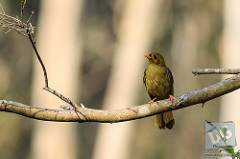 A Bell Miner (bellbird) by David de Groot