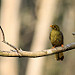 A Bell Miner (bellbird): A photo on Brisbane Photos