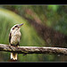 A rather wet Kookaburra
