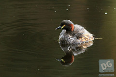 Australasian Grebe by David de Groot