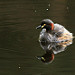 Australasian Grebe: A photo on Brisbane Photos