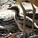 Baby Bush Stone Curlew