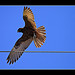 Brown Falcon (immature)
