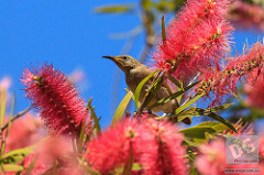 Brown Honeyeater by David de Groot