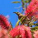 Brown Honeyeater: A photo on Brisbane Photos