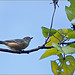 Brown Thornbill ?