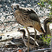 Bush Stone Curlew Family