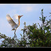Cattle Egret (breeding flush)