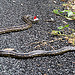 Christmas Carpet Snake on our Driveway