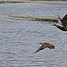 Ducks in Flight (crop)