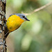 Eastern Yellow Robin: A photo on Brisbane Photos
