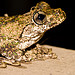 Emereld-spotted Treefrog