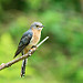 Fantailed Cuckoo.: A photo on Brisbane Photos