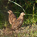 Female Brown Quails