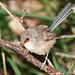 Female Variegated Fairywren (crop)