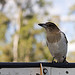 Immature Butcher Bird