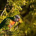 Immature Rainbow Lorikeet