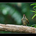 Lewin's Honeyeater singing