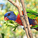 Lorikeet in a tree