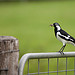 Magpie Lark with Spider