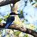 Male Forest Kingfisher