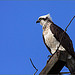 Male Osprey Perching