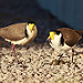 Masked Lapwing parents