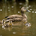 Pacific Black Duck with Ducklings