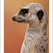 Profile of a Meerkat