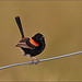 Red-backed Fairywren