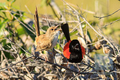 Red-backed Fairywrens singing by David de Groot