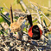 Red-backed Fairywrens singing: A photo on Brisbane Photos