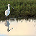 Royal Spoonbill reflection