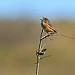 Singing Southern Emu Wren