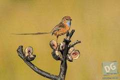 Southern Emu Wren by David de Groot