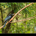 Spangled Drongo with wasp
