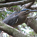 Striated Heron in a tree