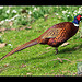 The Common Pheasant