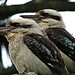 Two Kookaburras sitting on a branch...