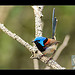Variegated Fairywren