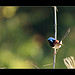 Variegated Fairy-wren (male)