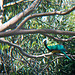 Wampoo Fruit Dove