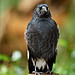 Wet Currawong