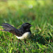 Willie Wagtail on grass, cheeky pose.