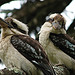 Yet another Kookaburra photo...
